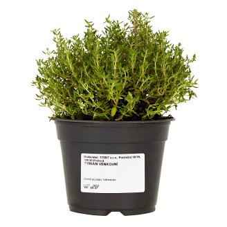 Titbit Thyme Outdoors
