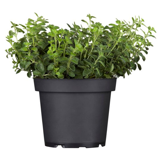 Tesco Mix Marjorami/Lovage in a Flower Pot