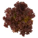 Salad Lollo Rosso